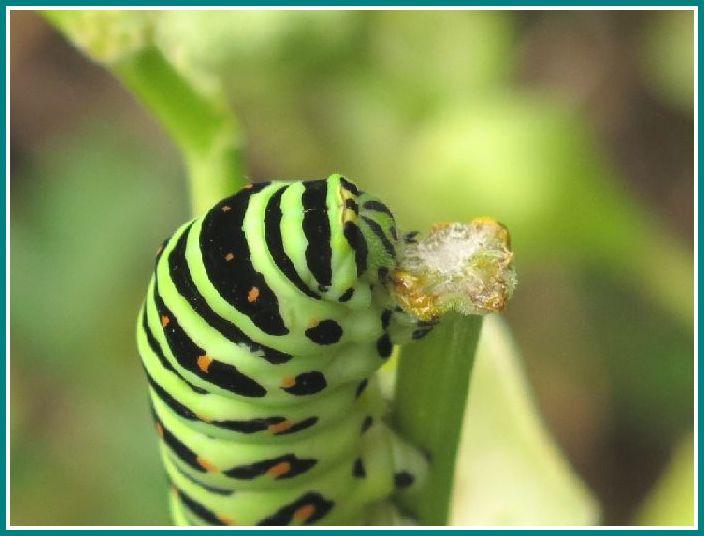 2013 10 7 027  キアゲハ幼虫  アシタバ