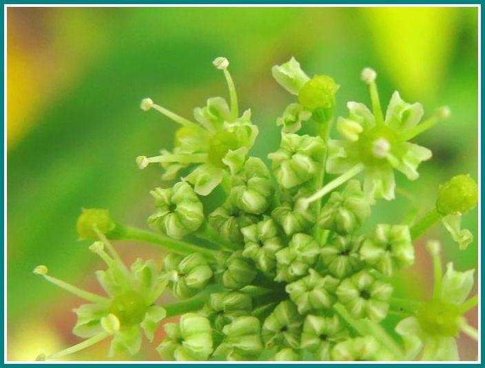 2013 10 22 080 アシタバ  花