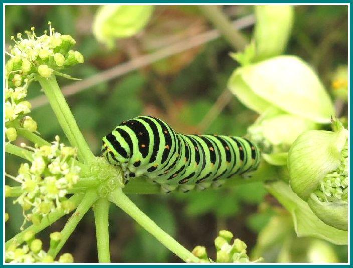 2013 10 5 100 アシタバ  キアゲハ幼虫