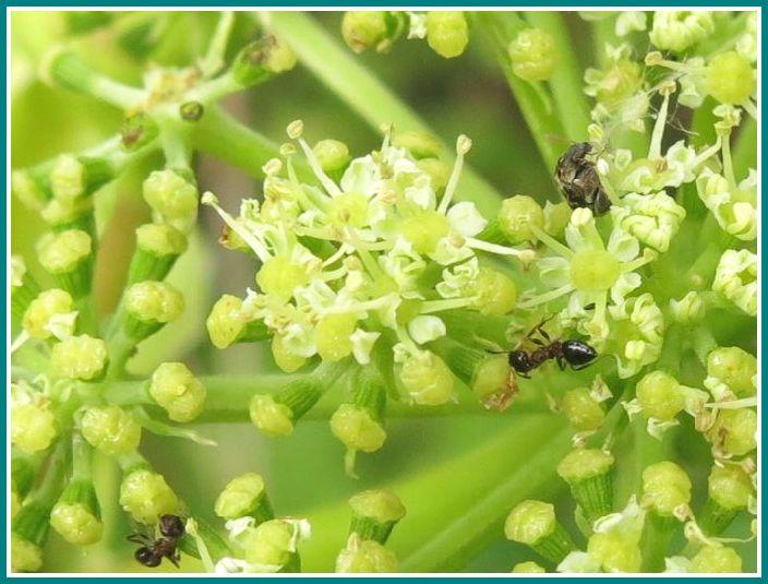 2013 10 5 102 アシタバ  蟻など