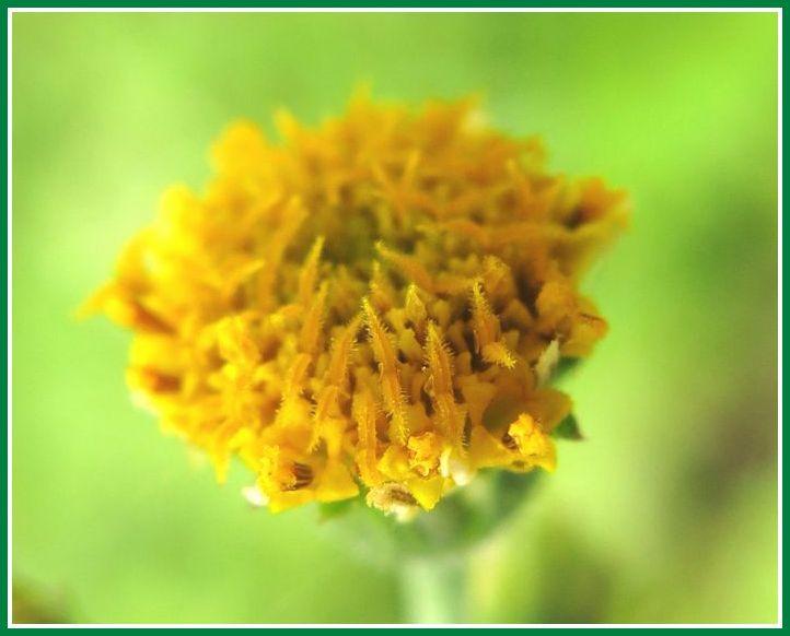 2013 10 5 佐鳴湖 079 コセンダングサ 花 マクロ やすり