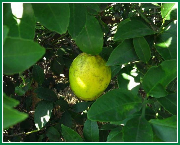 2013 10 25 056 レモン 実