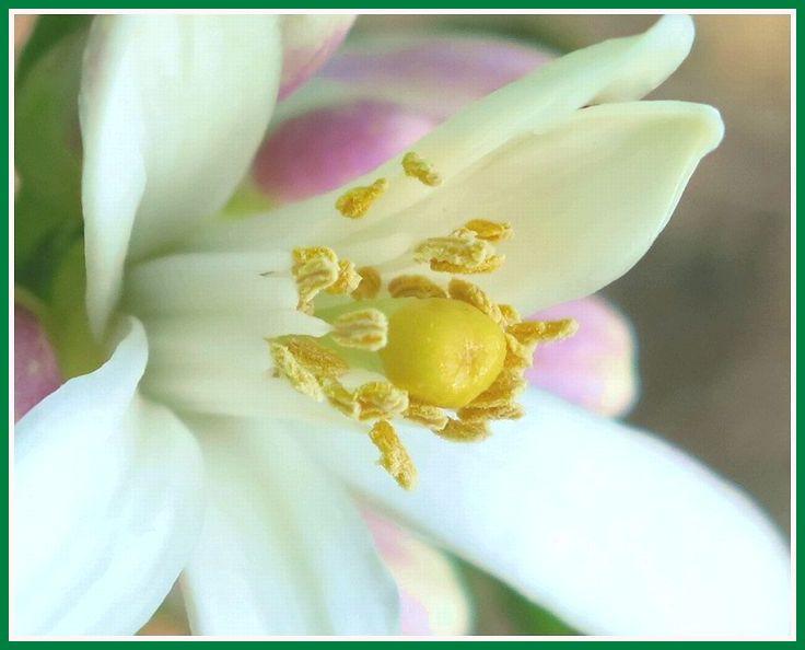 2013 9 17 佐鳴湖 036 レモンの花  マクロ