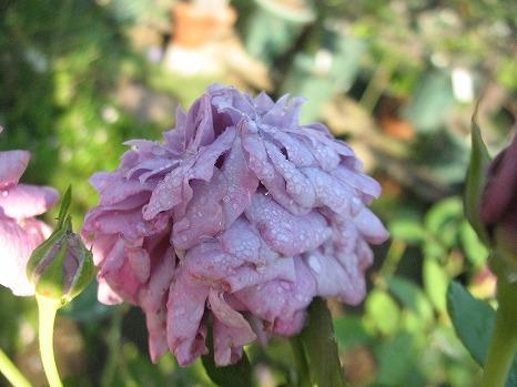 玉藻 (4)