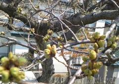 桜芽4-23_600
