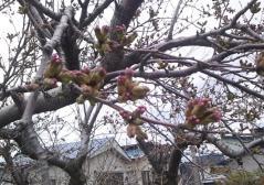 桜4-26_600