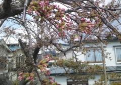 桜4-30_600
