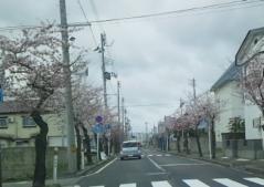 桜5-2_600