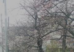 桜5-2 (1)_600