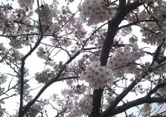 桜5-7 (3)_600