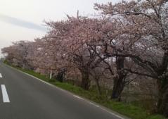 桜5-8_600