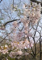 桜5-10 (1)_600