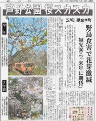 桜被害記事_600