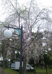 桜5-11_600