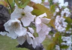 桜桃_600