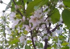 桜桃黄_600