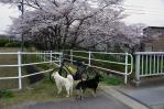 郷瀬川分岐の五条川の満開の桜1
