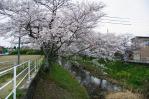 郷瀬川分岐の五条川の満開の桜2