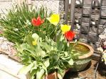 鉢植えチューリップ