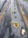 水切れで萎えたサツマイモ苗