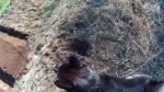 ワグマが掘った穴