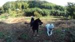 畑最上段のノンノワグマ