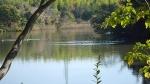 池面のカモ類