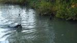 泳ぐワグマ
