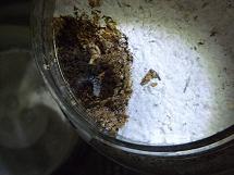 菌糸ビン投入時