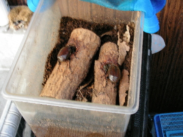 カブトムシのメス2匹、写真には写っていませんが、コクワガタのオス1匹