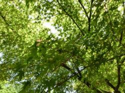 東京都立府中の森公園 モミジの花