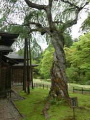 樹齢400年のシダレザクラ