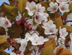 中禅寺湖畔の桜