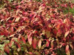 洋種ヤマゴボウの紅葉