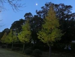 月と銀杏並木