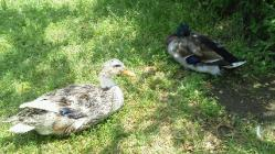 シェイクスピア・カントリーパーク つがいの鴨
