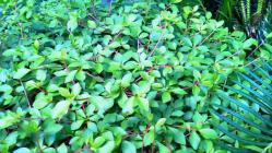 ドウダンツツジの新緑