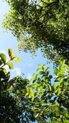 サルスベリと椎の新緑