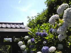 成就院前の紫陽花