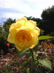 鎌倉文学館のバラ