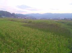 世羅の田んぼ1