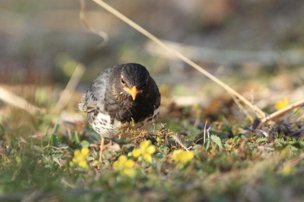 クロツグミ_塩嶺小鳥の森