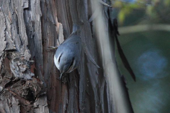 ゴジュウカラ_塩嶺小鳥の森