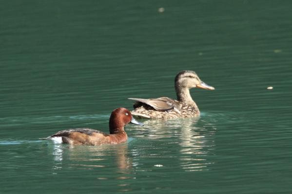 メジロガモ_白鳥湖