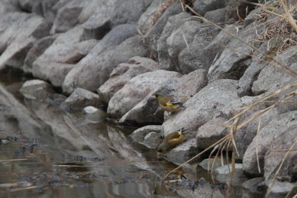 カワラヒワ_千鹿頭池