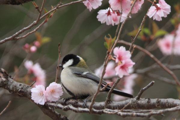 シジュウカラと桜_長野県林業総合センター