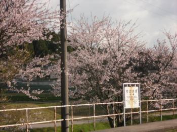 4・19桜