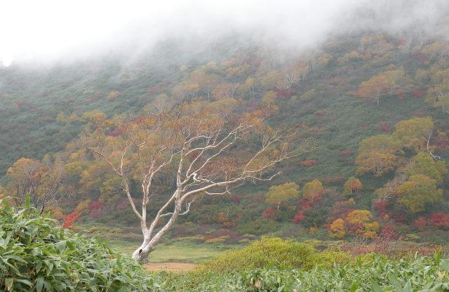 26 名物ダケカンバと幻想的な紅葉