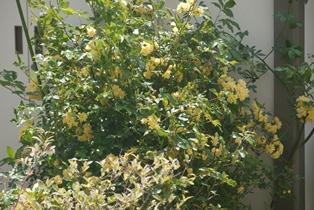 木香バラ130501