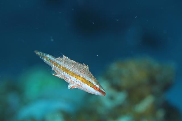 ヒトスジモチノウオの幼魚